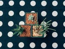 Vista superior de un cactus en un pote en la tabla del lunar con estilo del vintage plantas verdes en macetas en fondo del lunar  Fotografía de archivo libre de regalías