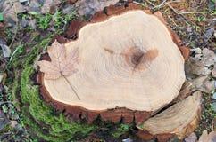 Vista superior de un tocón de árbol fresco del arce derribado en un bosque Fotografía de archivo libre de regalías