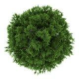 Vista superior del árbol de cal pequeño-con hojas aislado ilustración del vector