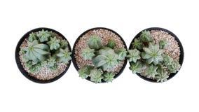 Vista superior del anoplia tanzano suculento del euforbio de la planta de la cremallera del pequeño cactus en conserva tres el s fotografía de archivo