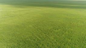Vista superior del campo de trigo verde durante un fuerte viento metrajes