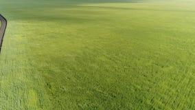 Vista superior del campo de trigo verde durante un fuerte viento almacen de metraje de vídeo
