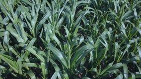 Vista superior del campo del maíz metrajes