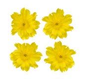 Vista superior del crisantemo aislada en el fondo blanco imagen de archivo libre de regalías