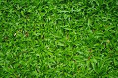 Vista superior del fondo malasio verde enorme del césped de la hierba en casa Imagen de archivo libre de regalías