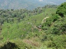Vista superior del jardín de té ooty, la India Imagen de archivo libre de regalías
