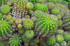Vista superior del jardín verde viejo del cactus de la bola foto de archivo