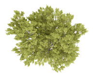 Vista superior del árbol de haya común en blanco Imagen de archivo