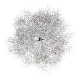 Vista superior del árbol del carpe del invierno aislado en blanco Fotografía de archivo libre de regalías
