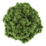 Vista superior do arbusto do buckeye de bottlebrush isolado Imagens de Stock Royalty Free