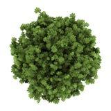 Vista superior do arbusto japonês da arália isolado no branco Imagem de Stock Royalty Free