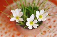 Vista superior do close up do lírio da chuva das flores Foto de Stock Royalty Free