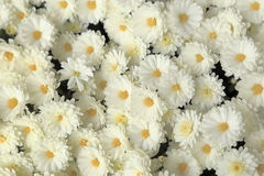 A vista superior do crisântemo branco floresce o ramalhete para o fundo Fotos de Stock Royalty Free