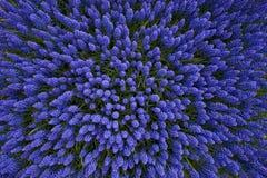 Vista superior dos hyacinths Imagens de Stock Royalty Free