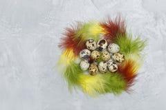 Vista superior dos ovos de codorniz e das penas coloridas em um fundo concreto Fotos de Stock
