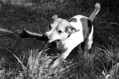 Vista superior e dianteira em preto e branco em um terrier de russell do jaque que luta por seu brinquedo em para meppen o emslan foto de stock