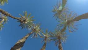 Vista superior em palmeiras circunvizinhas das datas na luz do sol filme