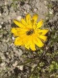 Vista superiore AG del fiore giallo immagini stock