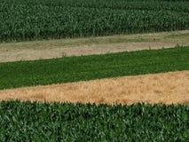 Vista superiore dei campi coltivati con differenti raccolti Campi della pannocchia di granturco, grano, fagioli ed appena raccolt Fotografie Stock