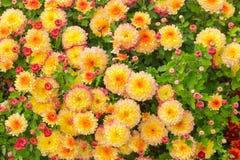 Vista superiore dei crisantemi sboccianti rossi e gialli immagine stock