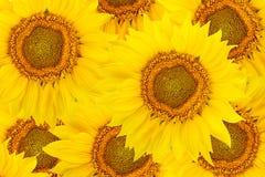 Vista superiore dei fiori del girasole Fotografia Stock