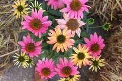 Vista superiore dei fiori multicolori variopinti dell'echinacea per fondo fotografie stock libere da diritti