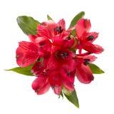 Vista superiore dei fiori rossi di alstroemeria Fotografia Stock Libera da Diritti