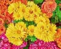 Vista superiore dei vari crisantemi variopinti Fotografia Stock Libera da Diritti