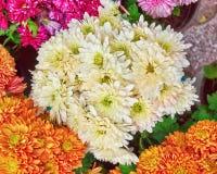 Vista superiore dei vari crisantemi variopinti Immagine Stock Libera da Diritti