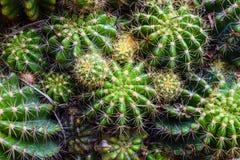 Vista superiore del cactus Fotografia Stock
