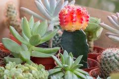 Vista superiore del cactus della miscela in vaso Immagini Stock