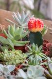 Vista superiore del cactus della miscela in vaso per fondo immagini stock libere da diritti