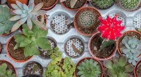 Vista superiore del cactus della miscela in vaso per il fondo del natuer Immagini Stock