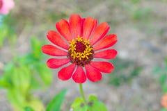 Vista superiore del fiore arancio di zinnia Fotografia Stock