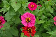 Vista superiore del fiore colorato di magenta della zinnia con il bombo su  immagine stock