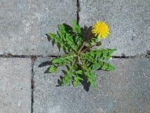 Vista superiore del fiore giallo del dente di leone fra le pietre per lastricati grige immagine stock libera da diritti