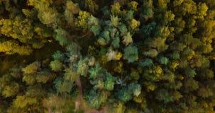 Vista superiore del fuco aereo della foresta e delle conifere nel Nord Paesaggio russo con i pini e l'abete, giorno soleggiato de archivi video