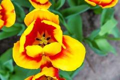 Vista superiore del primo piano rosso e giallo del tulipano macro immagine stock