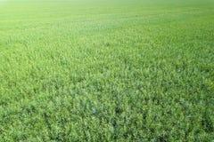 Vista superiore del seme di ravizzone del campo verde di agricoltura rapeseed Immagini Stock