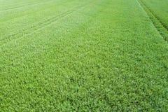 Vista superiore del seme di ravizzone del campo verde di agricoltura rapeseed Fotografia Stock Libera da Diritti