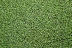 Vista superiore del seme di ravizzone del campo verde di agricoltura rapeseed Fotografie Stock