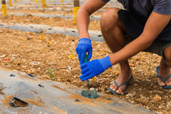 Vista superiore della fine sulle mani di un uomo che pianta vista dei cetrioli delle mani di un uomo Fotografia Stock