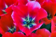 Vista superiore della macro rossa del primo piano del fiore del tulipano fotografia stock