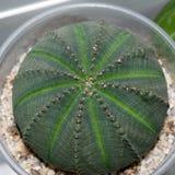 Vista superiore della pianta del succulente di obesa dell'euforbia Immagini Stock Libere da Diritti