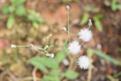 Vista superiore della pianta della spazzola di rasatura del cupido Fotografie Stock