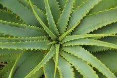 Vista superiore della pianta di Vera Spikey dell'aloe Fotografia Stock Libera da Diritti