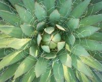 Vista superiore della pianta verde dell'agave nei giardini Fotografia Stock Libera da Diritti