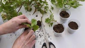 Vista superiore delle mani della donna che piantano i tagli del geranio nelle tazze di plastica video d archivio