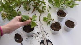 Vista superiore delle mani della donna che piantano i tagli del geranio nelle tazze di plastica stock footage