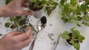 Vista superiore delle mani della donna che piantano i tagli del geranio nelle tazze di plastica archivi video